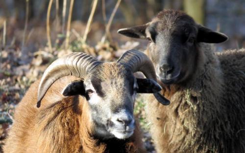 Schafe - Bild: Franz Walter