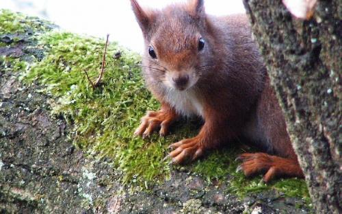 Eichhörnchen - Bild: Karl Damian