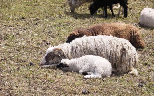 Schafe - Bild: Karl Damian